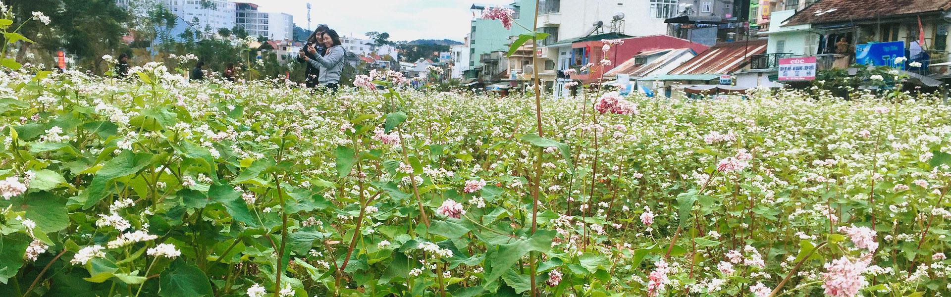 Check in cánh đồng hoa tam giác mạch đang nở rộ tại Lâm Đồng
