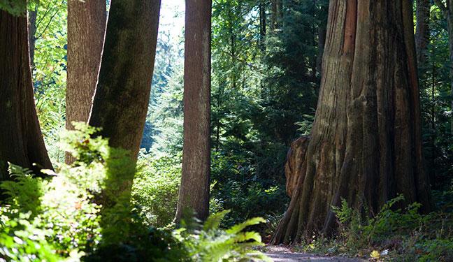 những cây cổ thụ trong công viên stanley