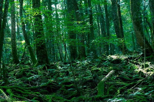 rừng aokigahara huyền bí rừng rợn