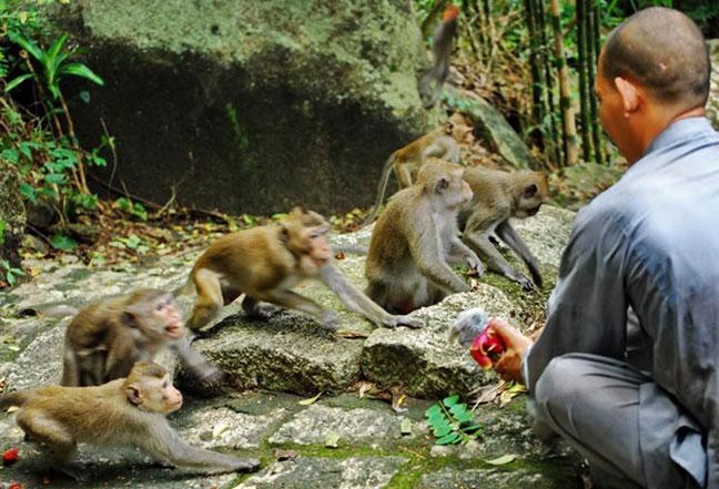 Một sư Thầy đang cho khỉ ăn tại chùa