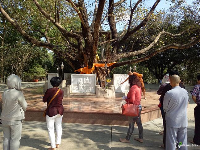 cây đại bồ đề chùa bửu long